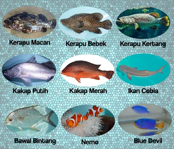 Peran BBPBL Lampung Dalam Mengembangkan Benih Ikan Kakap Merah Strain Taiwan (Lutjanus Malabaricus)